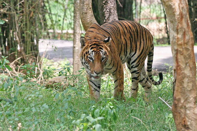 800px-Bengal_Tiger_in_Bangalore.jpg